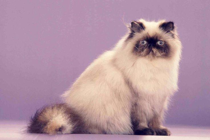 ГИМАЛАЙСКАЯ КОШКА — милое, послушное и тихое создание. Разделив с персами телосложение и длину шерсти, от сиамских кошек они унаследовали поинтовый окрас и ярко-голубые глаза.