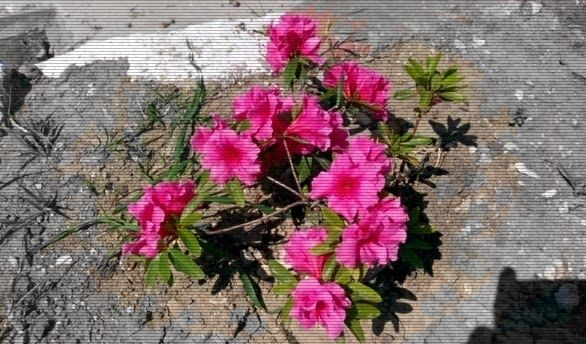 Çiçekli bitkilerde tozlaşma ve döllenme