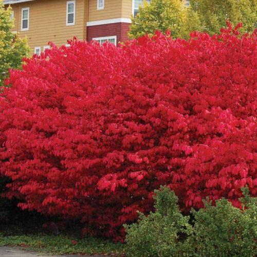 Few other hedge plants rival the blazing red color of Burning Bush in the fall. This fast-growing hedge plant is easy & requires minimal care! This is the perfect plant for hiding unsightly air-conditioning & utility units near your house. Combine with Ornamental Grasses &  KnockOut Roses for a trio of color all summer long! Plants thrive in full sun or part shade and will quickly establish to sandy or clay soil. They are very disease resistant and easily tolerate dro...