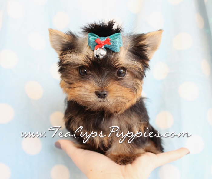 Little Yorkie Boy Puppies Yorkies Teacups Teacup