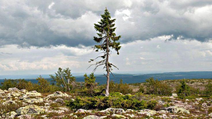 Old Tjikko, così si chiama l'albero più vecchio del mondo, è alto solo 5 metri, ed è quindi molto più piccolo rispetto ai suoi fratelli di 55 metri