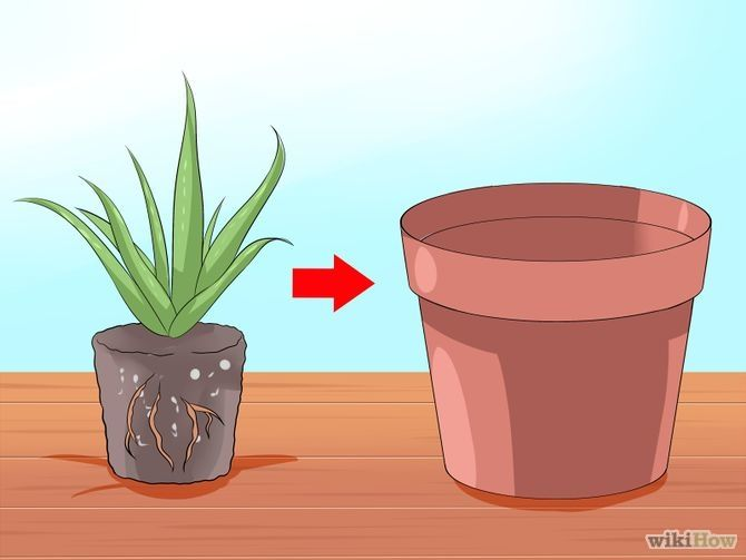 Care for Your Aloe Vera Plant Step 6.jpg