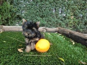Bonito cachorro yorkshire miniatura terrier de criadero cantillana