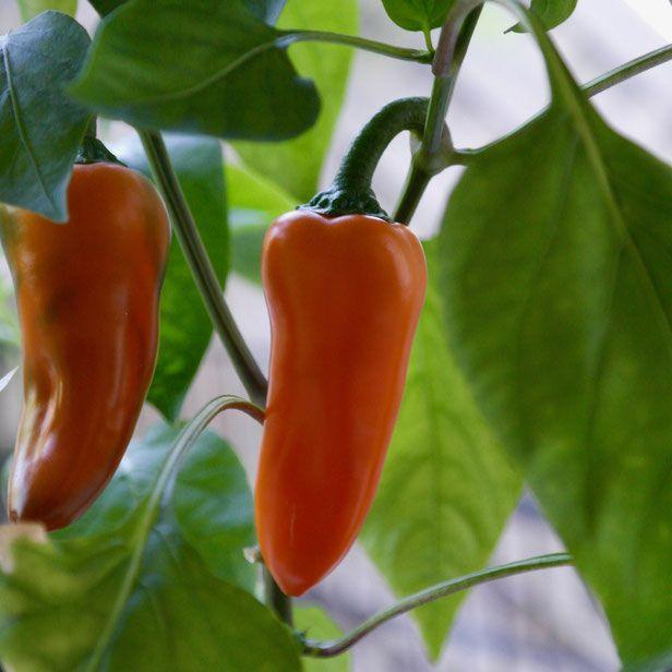Kweek paprika's en chili pepers het hele jaar door binnen, ook in de winter! Hier alle tips van zaaien tot oogsten, inclusief alles over geschikte rasse , licht, water en plantenvoeding. #indoorgarden #cityfarming #growyourown
