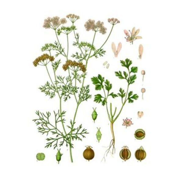 Chémotypes : linalol, α-pinène / Nom botanique : coriandrum sativum / Origine : Hongrie / Partie distillée : graines