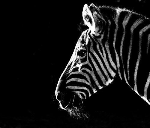 Zebra WP
