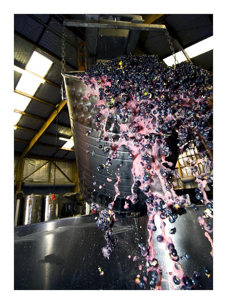 Great grapes from Schubert Wines, Martinborough