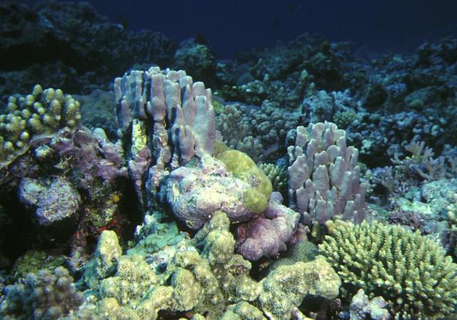 Hydrolithon craspedium in Fiji by Derek Keats, via Flickr