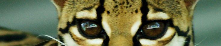 Jaguar Rescue Center - Costa Rica