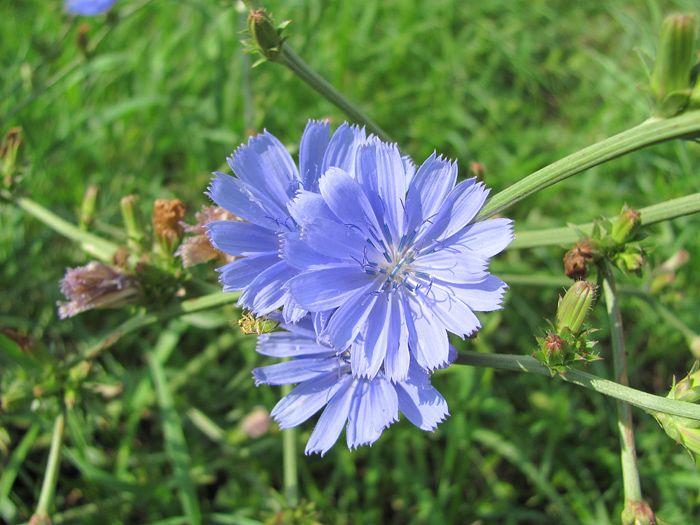 čekanka obecná (Cichorium intybus). Květy jsou otevřené pouze dopoledne. Po poledni se začínají zavírat.
