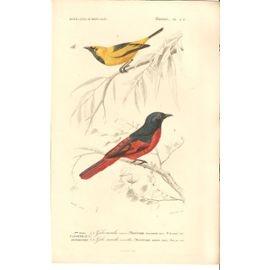 Oiseaux Passereaux Dentirostres : Gobe Mouche Ornoir- Gobe Mouche Vermillon- 1849- Planche 2b (Dictionnaire Universel Dhistoire Naturelle)