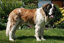 St. Bernard: named for an actual saint? Apparently so.