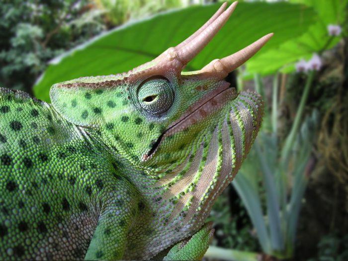 Trioceros deremensis, common name Usambara three-horned chameleon