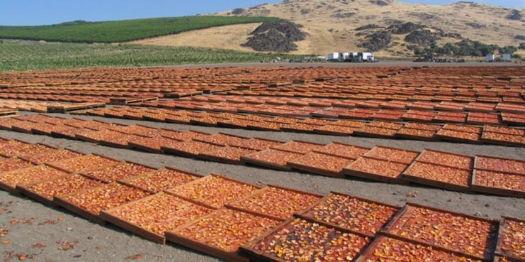 Peaches drying in California for Gleaning For the Hungry...they take peaches and nectarines and dry them in the California sun, package the fruit and then ship the dried fruit to hungry people (like Haiti) all around the world. They also ship dried soup mixes and have other ongoing projects. I learned about Gleanings from a person who volunteers there.