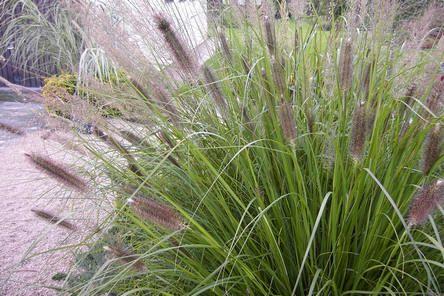 Pennisetum of lampenpoetsersgras ook soms borstelveergras genoemd - soorten lampenpoetsersgras voor de tuin