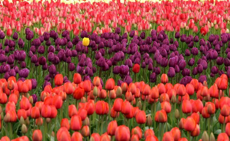 planta campo flor púrpura pétalo tulipán rojo contraste amarillo Flores Tulipanes único planta floreciendo ser tú mismo destacar Familia del lirio Planta de tierra colores verdaderos