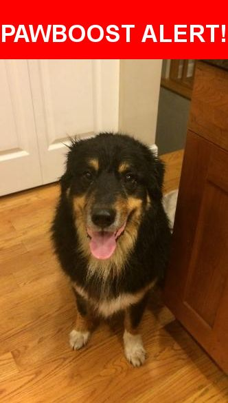 Is this your lost pet? Found in Chicago, IL 60657. Please spread the word so we can find the owner!  Dog found running in-between cats during thunderstorm. Possibly a Bernese Mountain Dog mix? Waited and searched for possible owners but no luck. We were instructed by CPD to take him/her to a Vet to check for a microchip, but again, no luck. Rabies tag up to date (2016).  Nearest Address: Near N Clark St & W Buckingham Pl