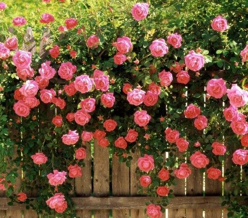 If possible, plant your climbing roses early in the season. This will give them the most potential to establish a sturdy root system before the winter frost hits. Technically, they can be planted in early fall, but the root systems won't be as strong if you do... #climbingroses #flowers #gardening