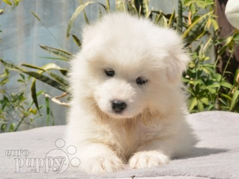 Escobar Samoyed Puppy For Sale Woof Samoyed Puppies For Sale