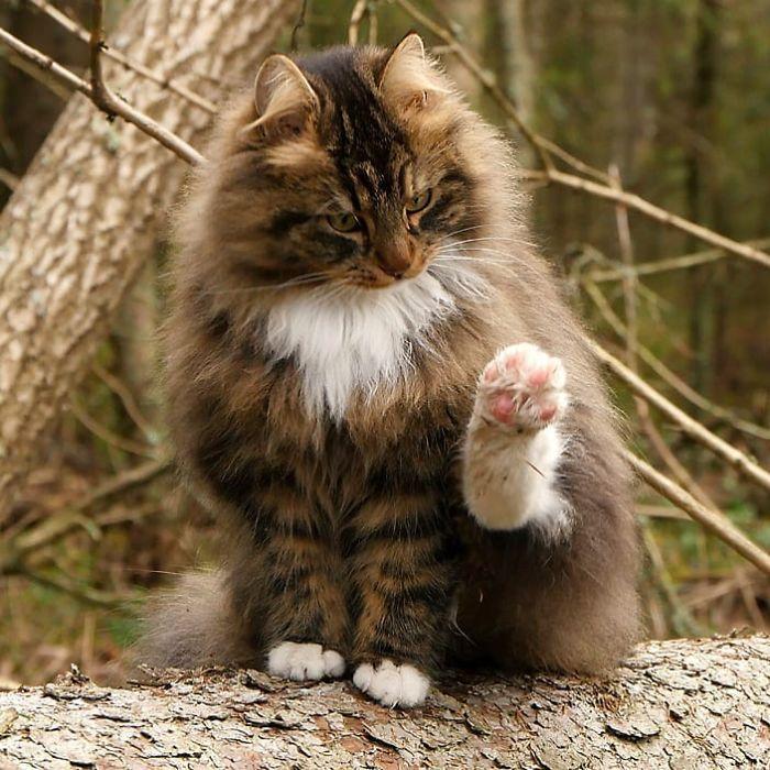 Norwegian Forest Cats Sampy Hiskias In 2020 Norwegian Forest Cat