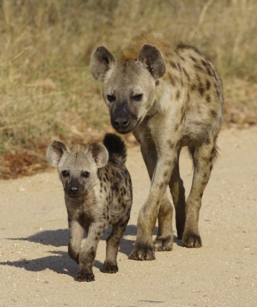 In spotted-hyena families, ladies rule the roost. Females are bigger and stronger, winning the spots in the pack hierarchy and intimidating the males. The guys are so afraid of the females that fathers will take commands from their little girls. If  a dad behaves nicely, his daughters will treat them kindly when they become adults. Credit: Thinkstock