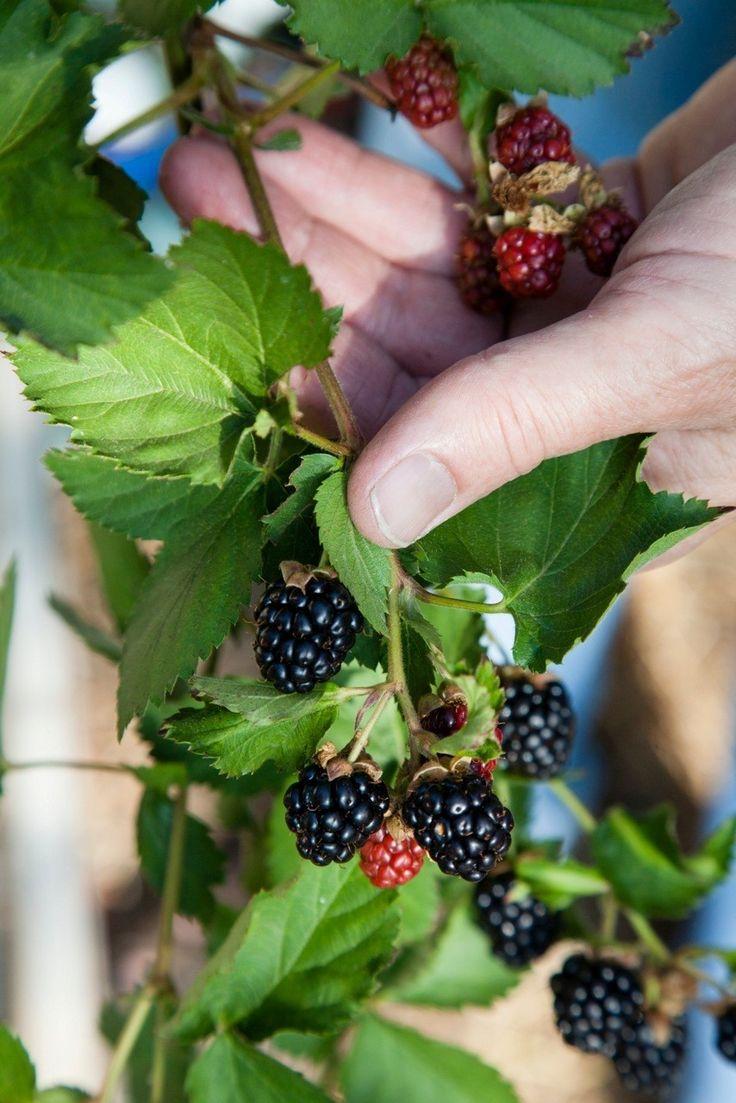 Growing blackberries: Sweet fruit, minus the thorns