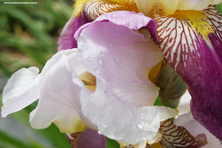 Iris in yellow and mauve
