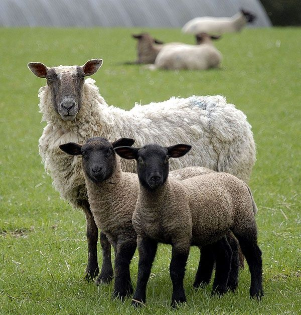 Spring Lambs - Ludlow, Shropshire | Domesticated Sweethearts