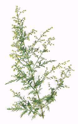Sweet Annie Wormwood Artemisia annua Uses: Medicinal/Aromatic Duration: Annual When to Sow: Spring/Late Summer/Early Fall Ease of Germination: Easy (Sweet annie) Chinese herb. Anti-malarial properties, attributed to the compound artemisinin; shown to be very effective. -- Chinese type used in Chinese medicine. Consists of several forms with varying leaf shape and growth habit. May in fact be a complex of several different species all known and used as qing-guo.