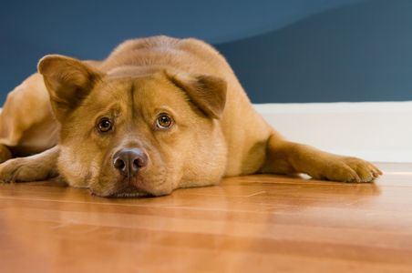 How to Get Dog Urine Smell Out of Hardwood Floors