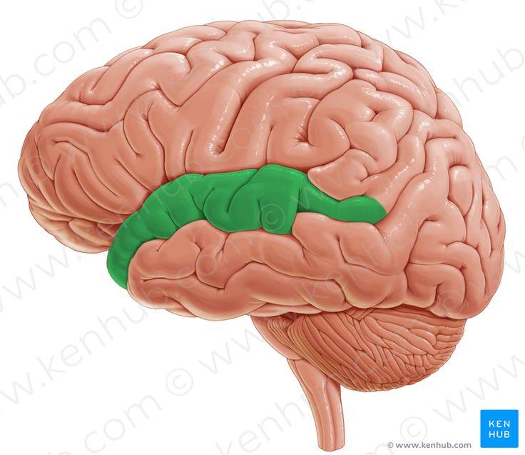 Superior temporal gyrus (верхняя височная извилина)
