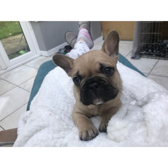 3 Fawn 1 Blue Fawn Sable French Bulldogs For Sale All Are