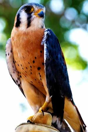 The American Kestrel, sometimes  known as the Sparrow Hawk, is a small falcon, and the only kestrel found in the Americas.