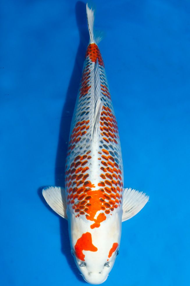 Kanoko kujaku 2 years female 58 cm koi name for Japanese koi names