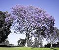 Jacaranda - Jacaranda is a genus of 49 species of flowering plants in the family Bignoniaceae, native to tropical and subtropical regions of Central America, South America, Cuba, Hispaniola, Jamaica and the Bahamas.[1] It has been planted widely in Asia, especially in Nepal. It is also quite common in South Africa and Zimbabwe. It has been introduced to most tropical and subtropical regions.