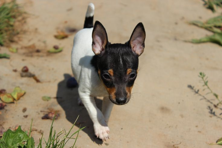 breed of dog, toy fox terrier