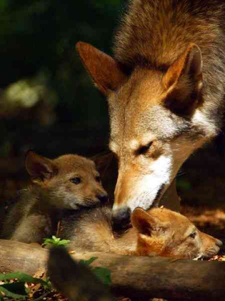 Red Wolf Dad and Red Wolf Pups