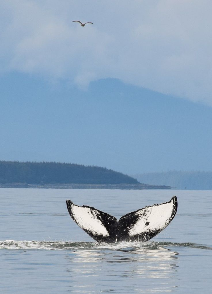 Whale watching in Juneau, Alaska - It's prime summer season for humpback whales in Alaska!