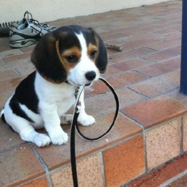 30 best cute beagle puppies images on pinterest beagle puppy beagle pups are so precious voltagebd Image collections