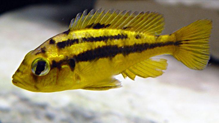 Paralabidochromis Rock Kribensis Female Cichlids African Cichlids Fish Pet