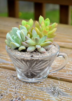 The Domestic Doozie: Teacup Succulent Gifts