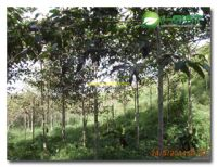 Tanah Kavling murah SHM dan Kebun jabon di Cianjur Hanya Rp. 23.860/m2