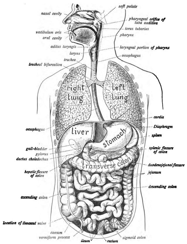 Human Digestive System Picture With Label . Human
