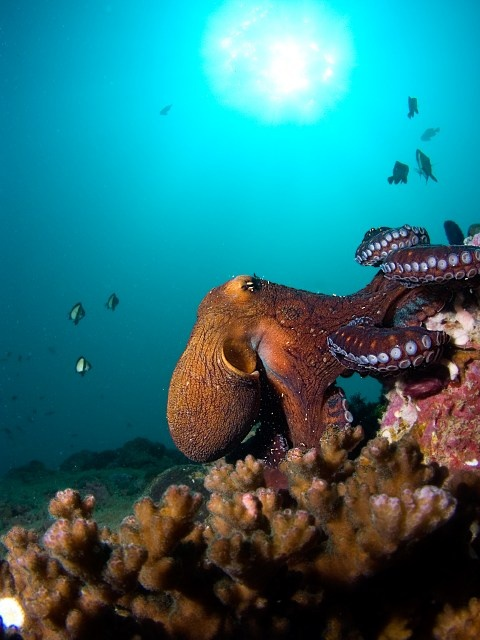 Octopus - Ningaloo Reef - by alcina