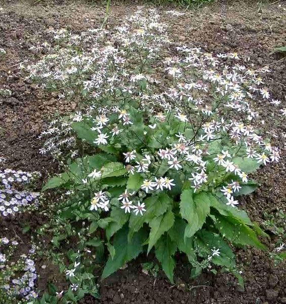 1000 Images About Garden Aster Divaricatus White Wood