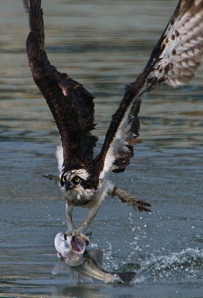 魚鷹                                                                                                                                                                                 もっと見る