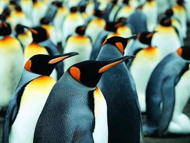 PenguinKing Penguins, Buckets Lists,  Aptenodyt Patagonica, Favorite Things, Kingdom Animalia, Favorite Animal, Emperor Penguins, Animal Obsession, Penguins Obsession