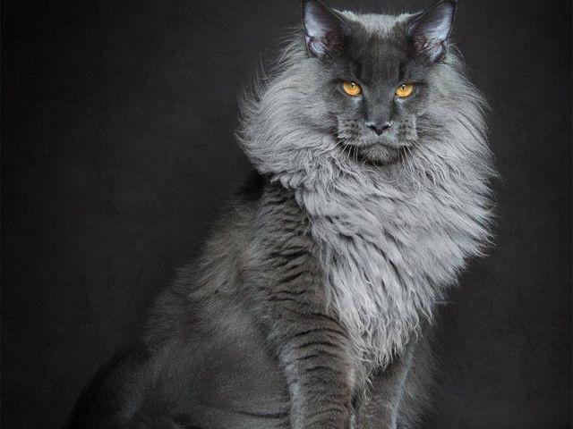 Un photographe sublime des chats Maine coon a travers ses photos. Le Maine Coon est sans doute l'une des races de chats les plus impressionnantes.