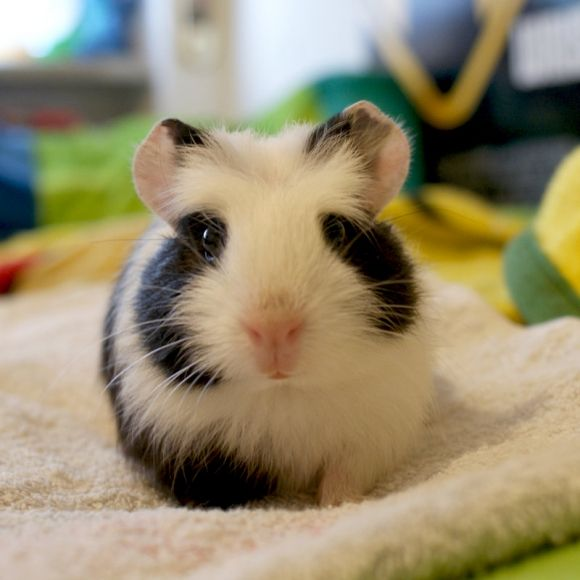 Two Month Old Guinea Pig - So cute!!