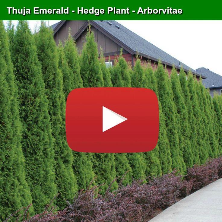 Die besten 25+ Emerald arborvitae Ideen auf Pinterest Thuja - heckenpflanzen